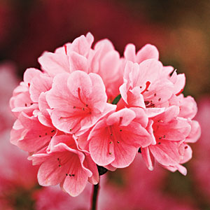 The Complete Guide To Essential Southern Plants Azalea Southern Living