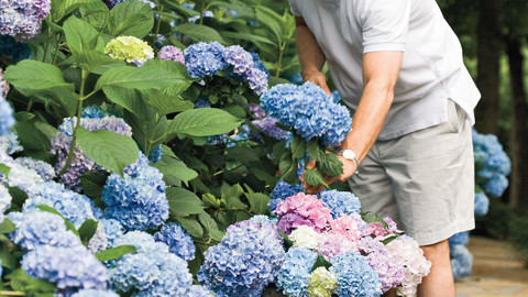 The Grumpy Gardener's Guide to Hydrangeas