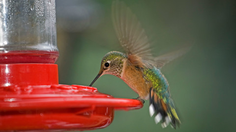 WATCH: What You Should Know About The Fall Migration Of Hummingbirds