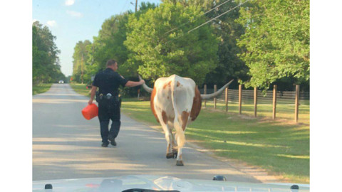 """Texas Deputy """"Grabs Bull By The Horns,"""" Escorts Gallivanting Longhorn Safely Home"""