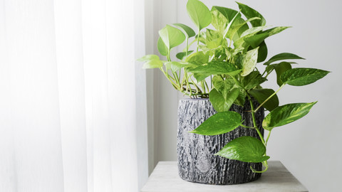 Scientists Have Genetically Modified this Common Houseplant to Improve Air Quality