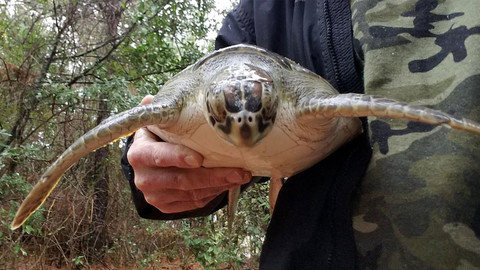 """Outer Banks Volunteers Race to Save Sea Turtles """"Stunned"""" By Cold Snap"""