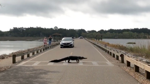 At This South Carolina State Park, Alligators Use the Crosswalk