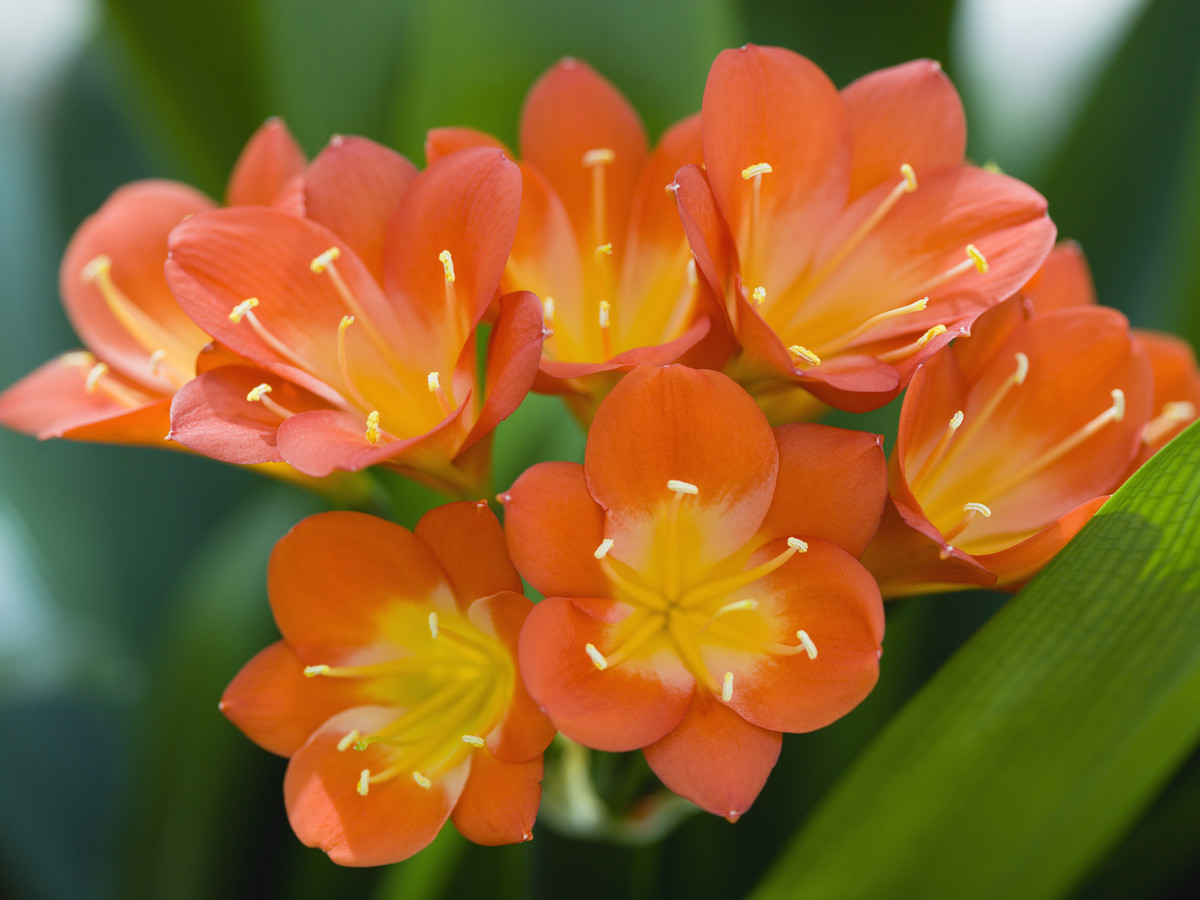 Fire lily plant 101 orange and yellow flowers clivia miniata orange fire lily flowers izmirmasajfo