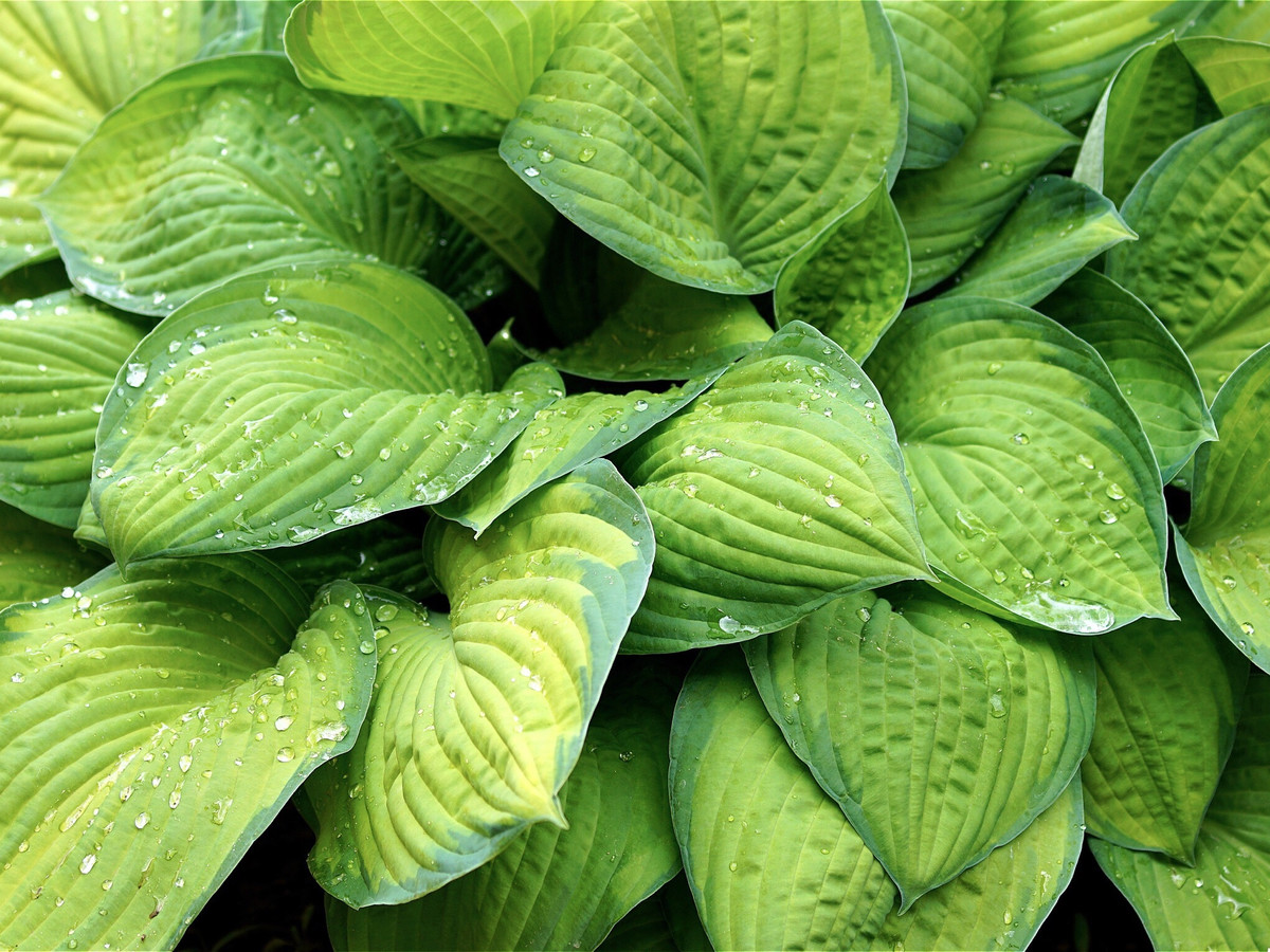 Plantain Lily Hosta Southern Living