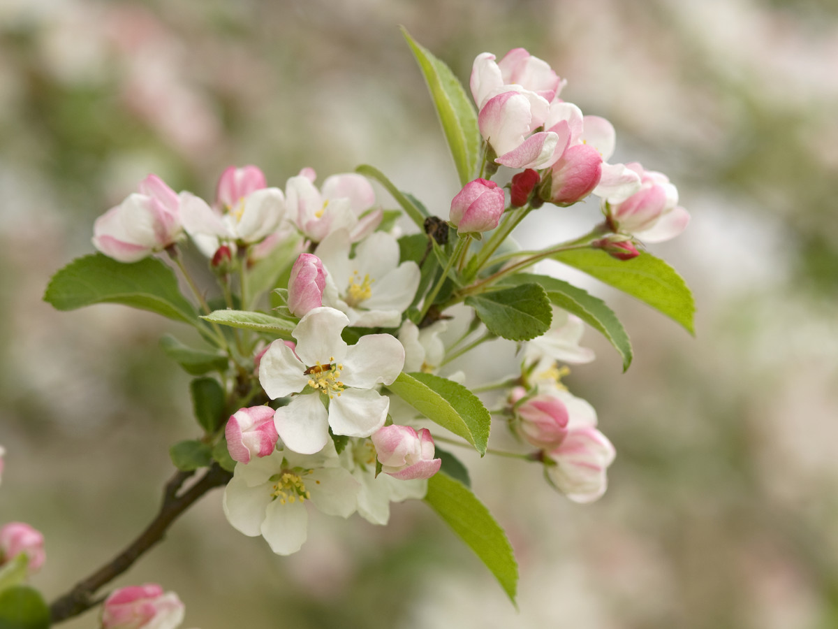 Flowering Crabapple Tree Malus Southern Living