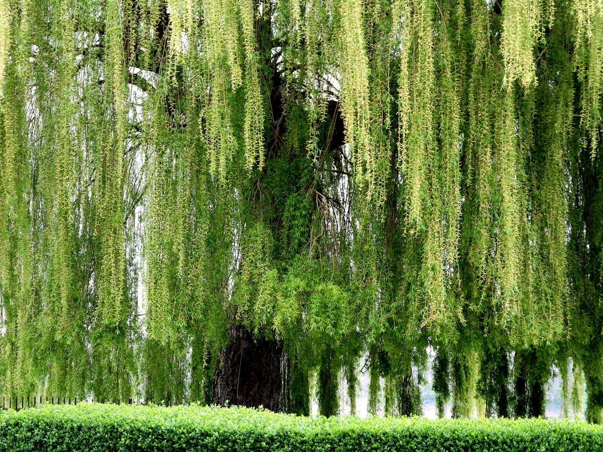 WILLOW – SALIX – Southern Living