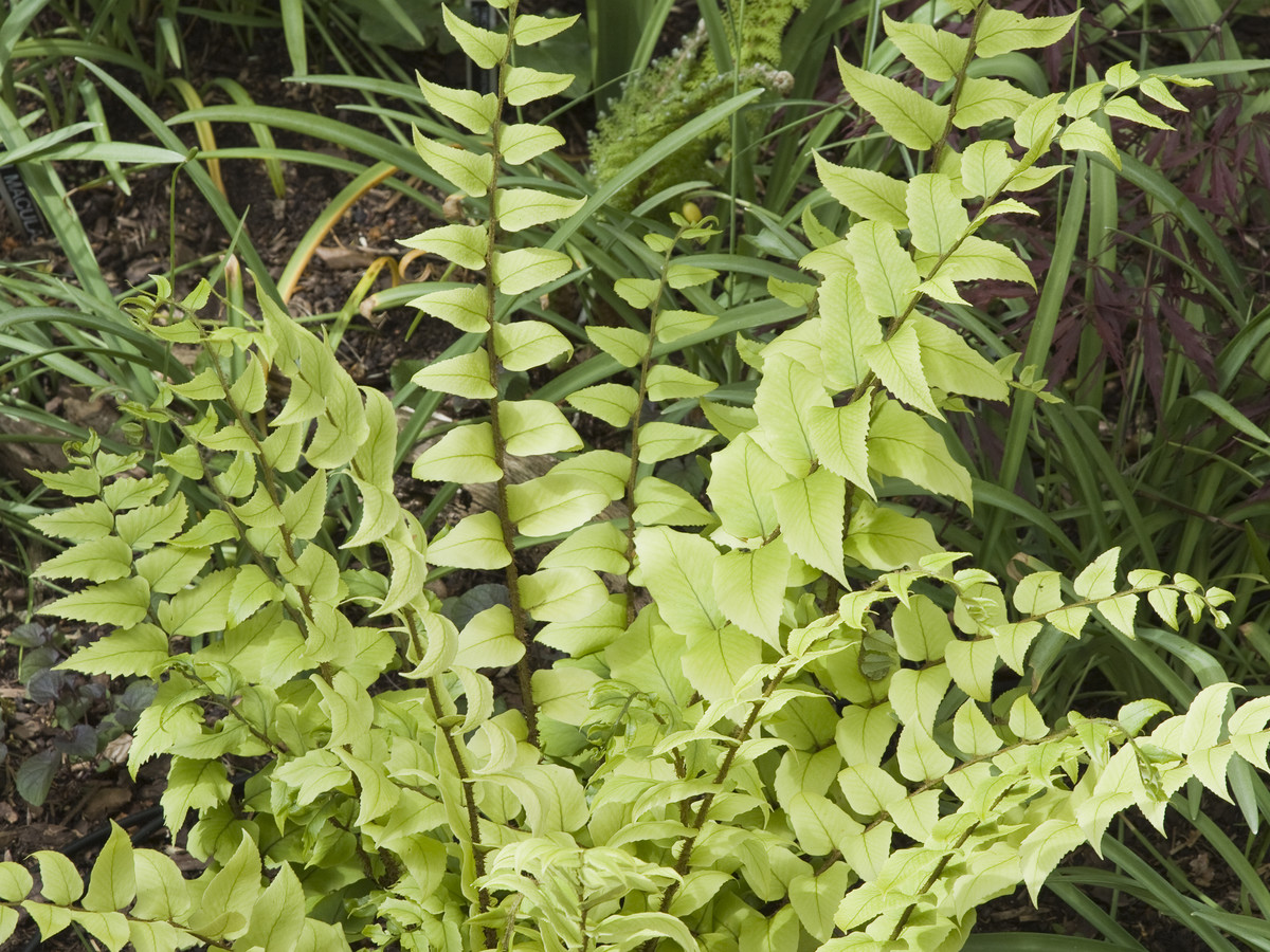 Holly Fern