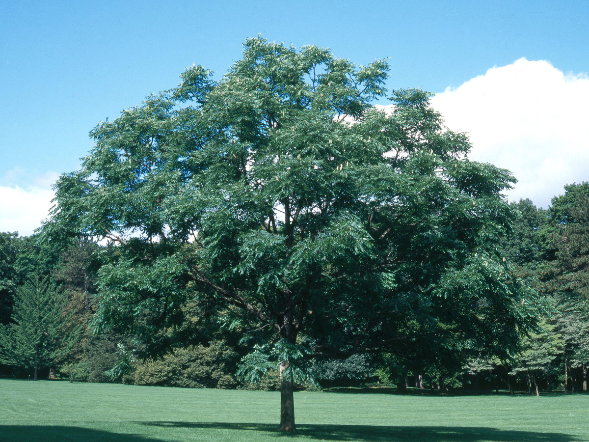 KENTUCKY COFFEE TREE – GYMNOCLADUS dioica – Southern Living