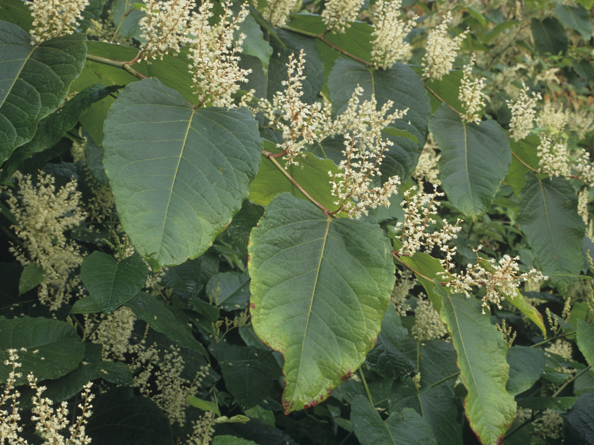 Knotweed Persicaria Southern Living