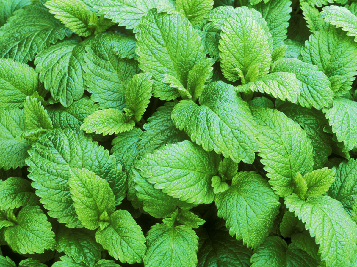 LEMON BALM, SWEET BALM