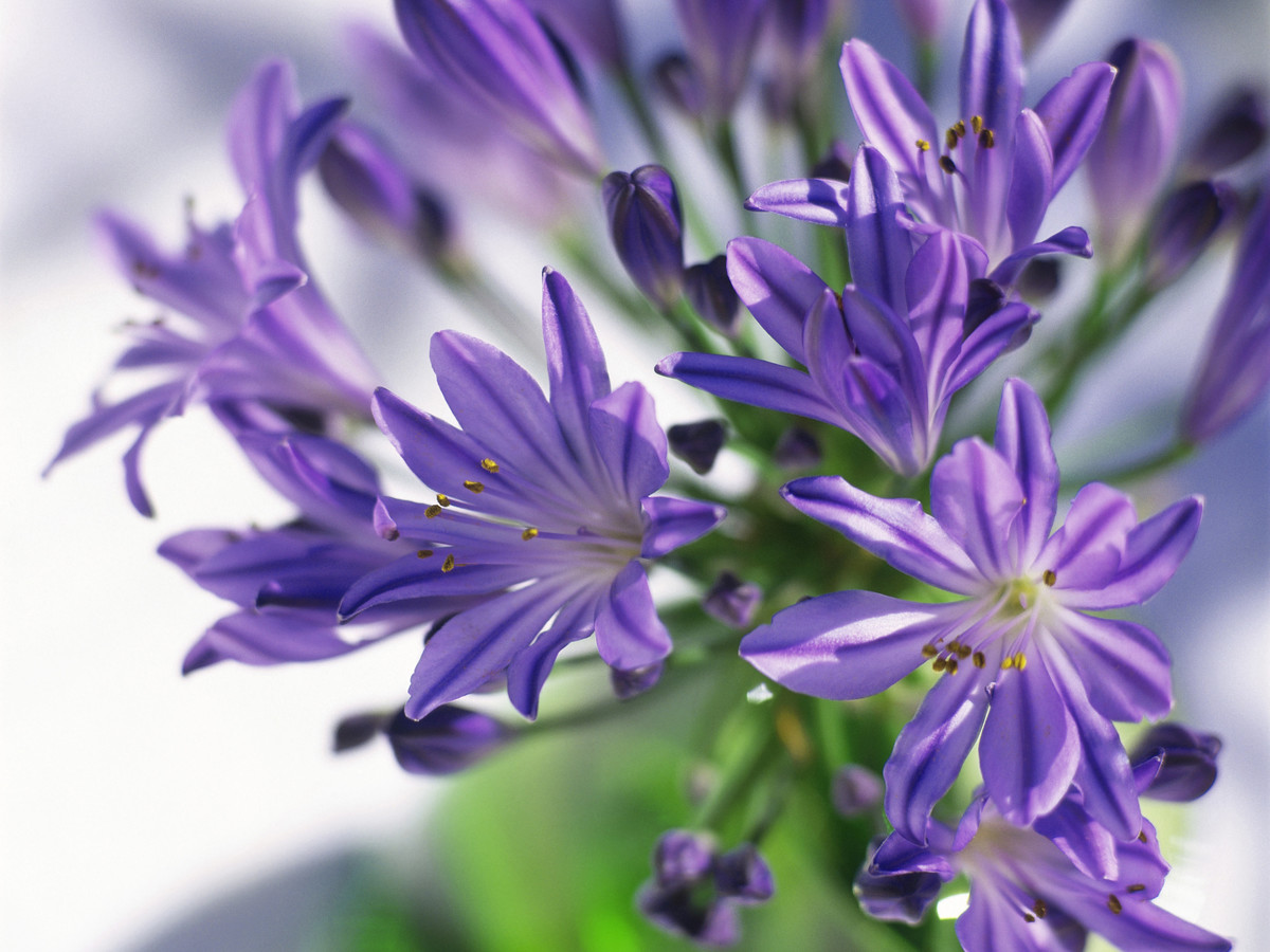 Lily of the nile agapanthus southern living lily of the nile izmirmasajfo Images