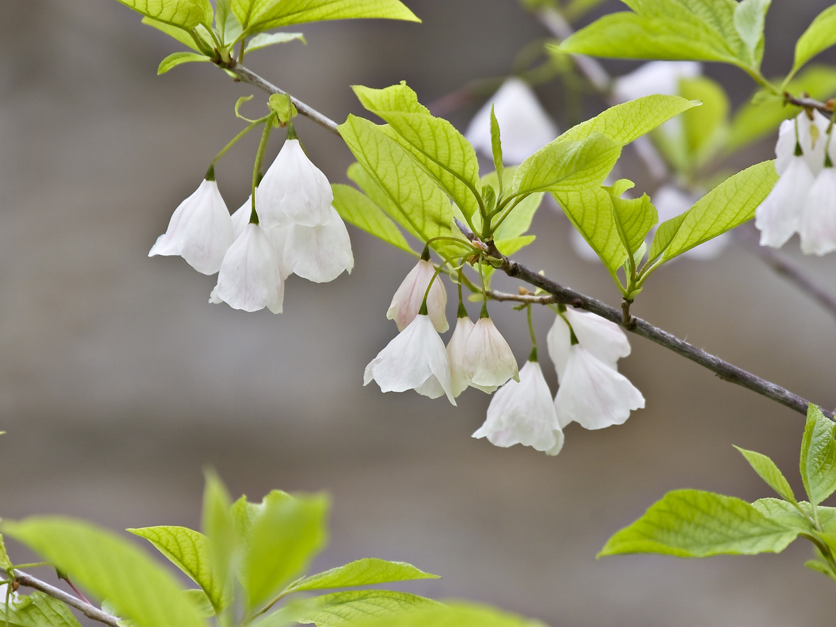 Silver Bell Halesia Southern Living