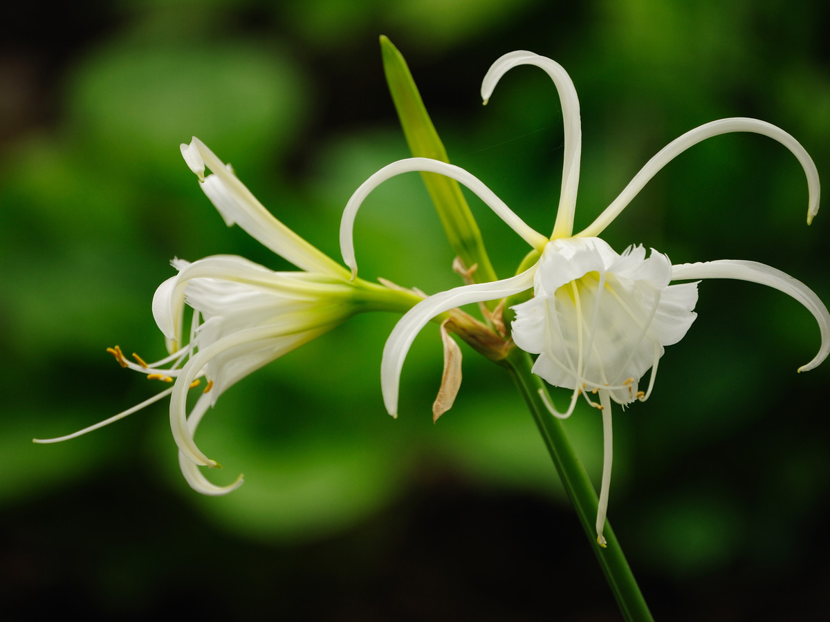 Spider Lily
