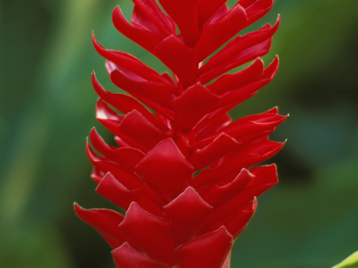 Spiral Flag Ginger Lily Costus Southern Living