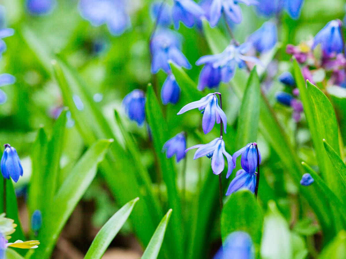 Bluebell Squill