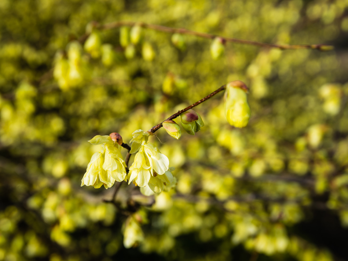 Winter Hazel