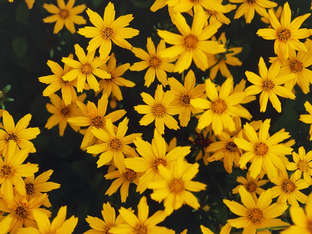 Tickseed Bidens Southern Living