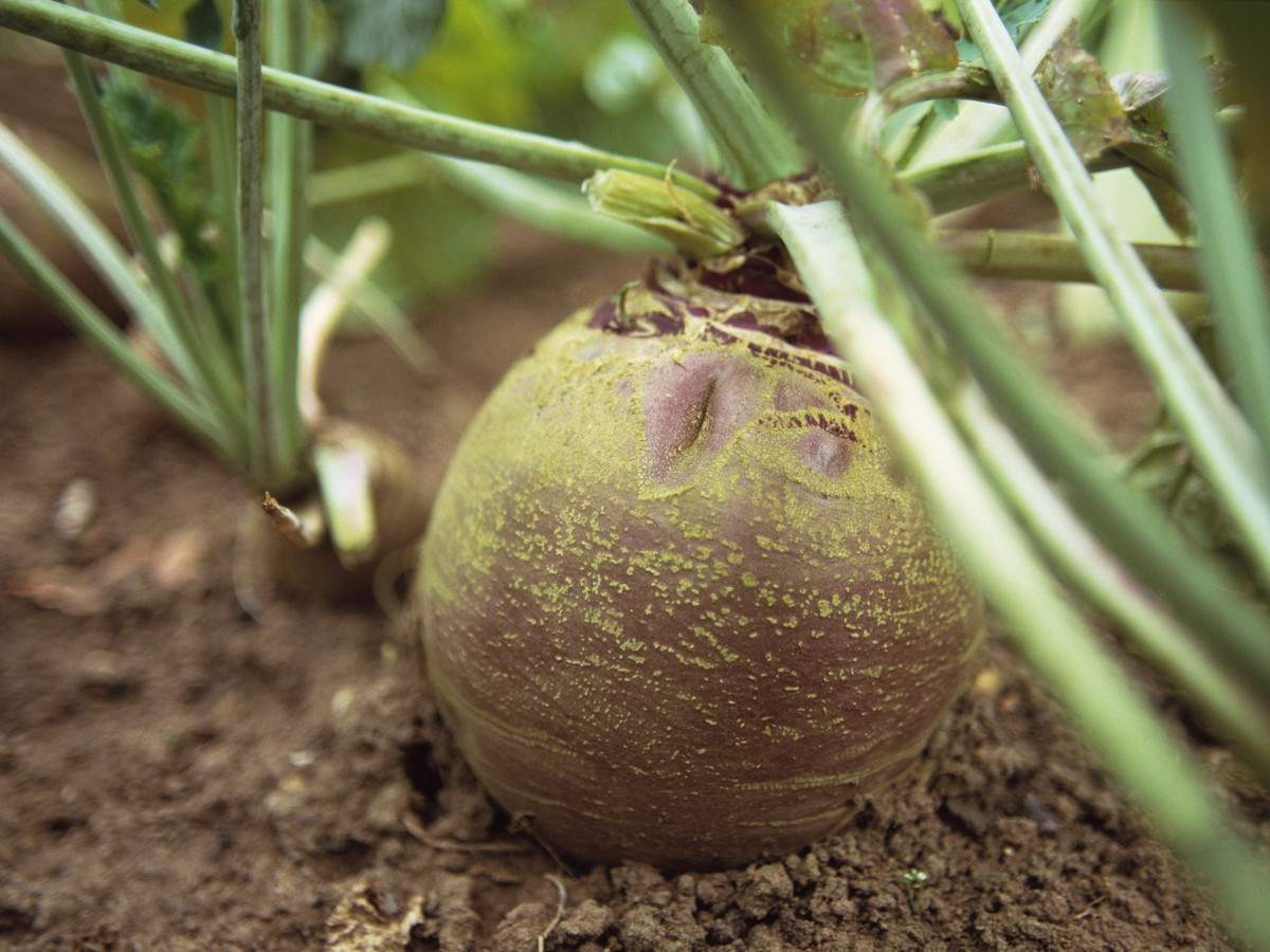 Turnip And Rutabaga Brassica Southern Living