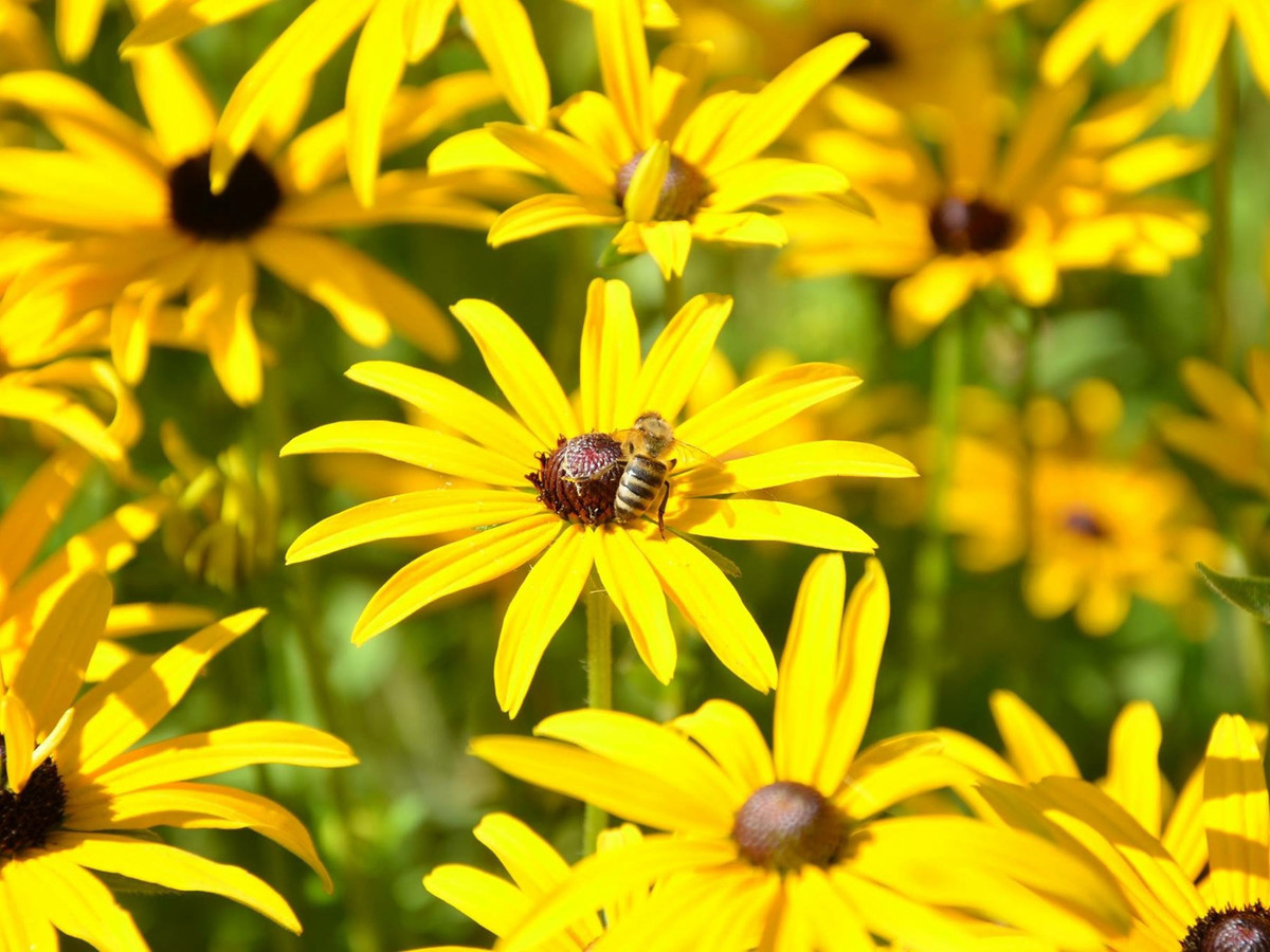 Getty Black Eyed Susan with Bee