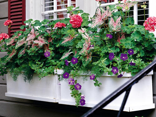 White Window Box with Geranium, Caladium, and Petunias