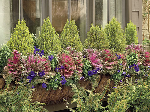 Kale, Violas, and Lemon Cypress Window Box