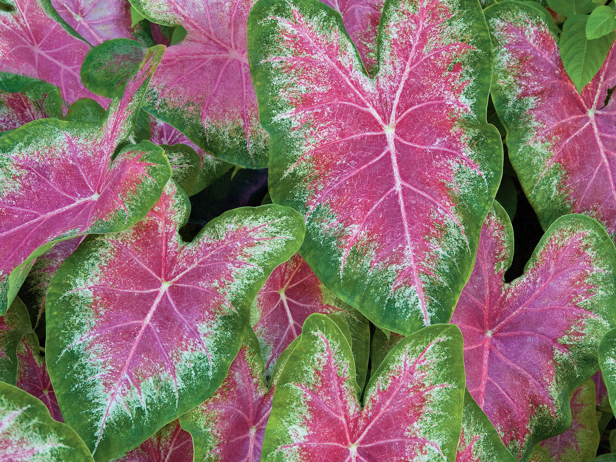 Year round plants for flower beds - Gardening 101 Caladiums