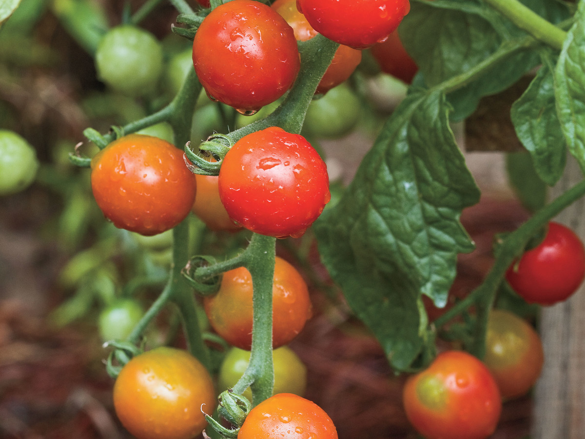 Try These Tomatoes
