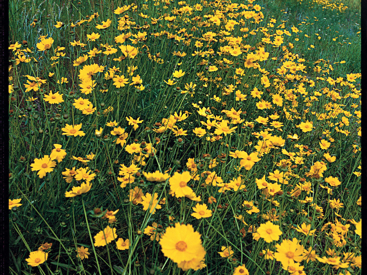 Coreopsis Southern Living