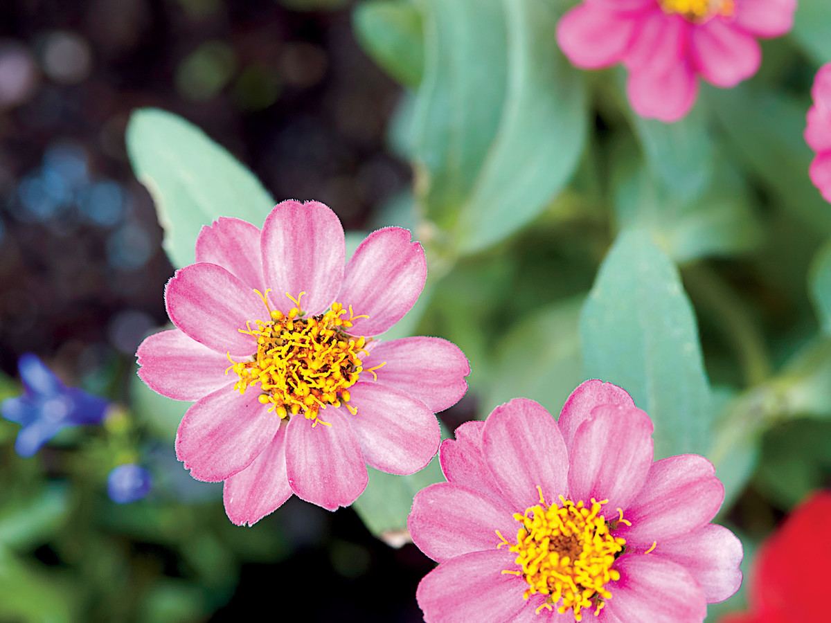 Annual plants flowers southern living annual plants izmirmasajfo