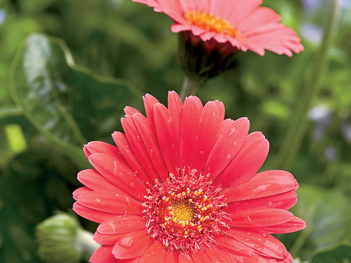 Gerbera Daisies Here Today Gone Tomorrow Southern Living
