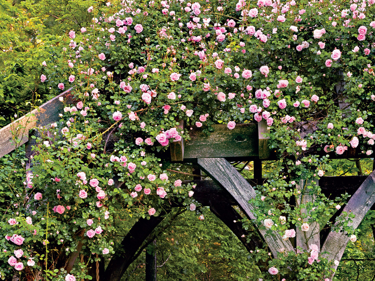 Roses In Garden: How To Grow Climbing Rose