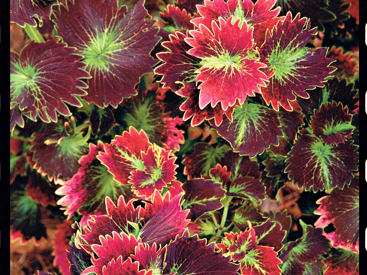 Colorful Coleus