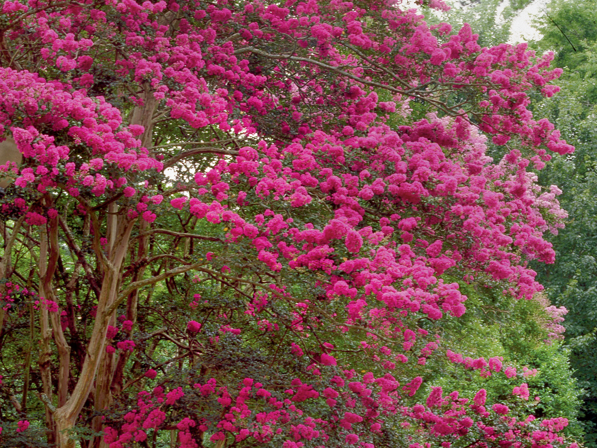 Beginners guide to crepe myrtle care southern living nvjuhfo Choice Image