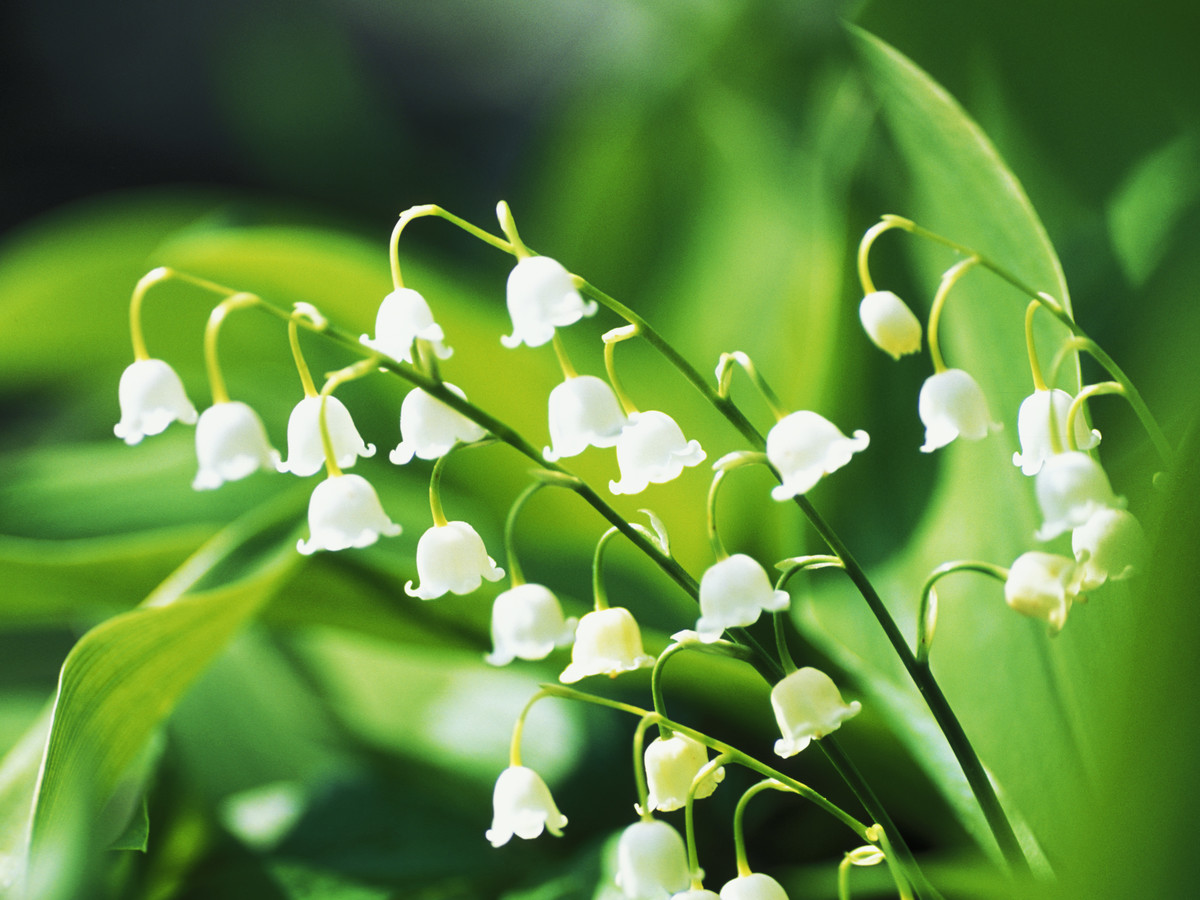 How to grow a lily of the valley southern living lily of the valley izmirmasajfo
