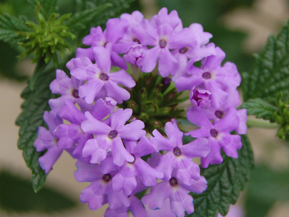 verbena plant varieties and gardening tips southern living