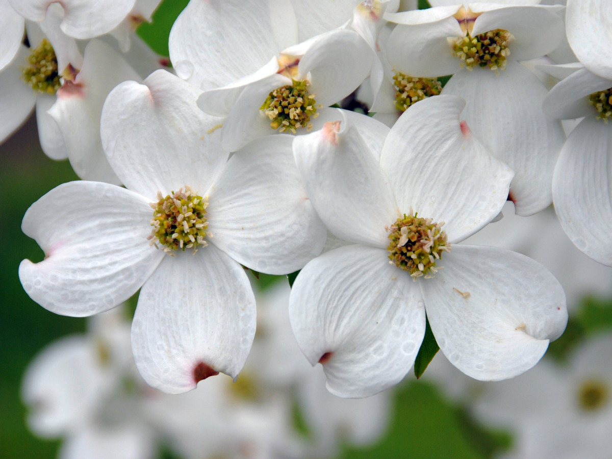 Dogwood cornus southern living white dogwood flowers mightylinksfo