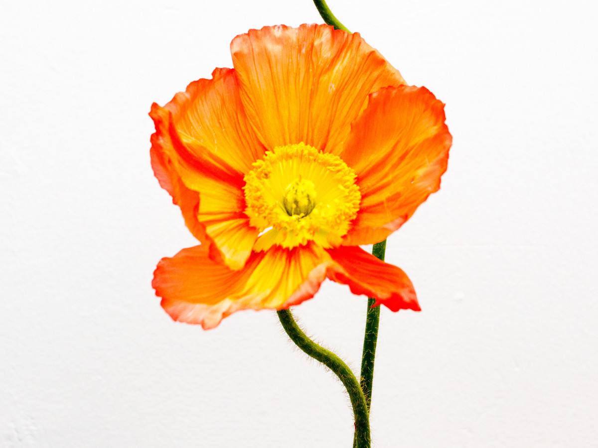 Poppy Papaver Southern Living