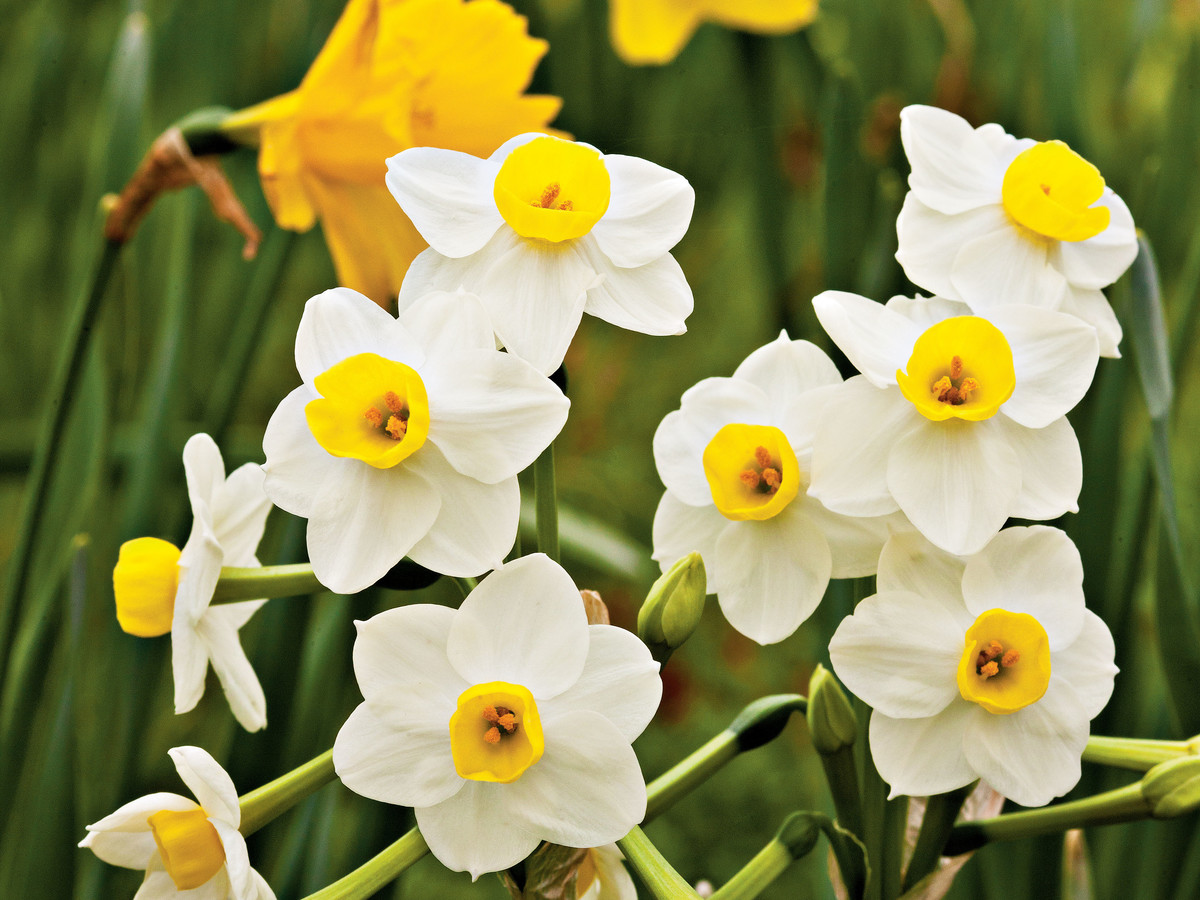 More Interesting Than Food Narcissus >> Daffodil Narcissus Jonquil Narcissus Southern Living