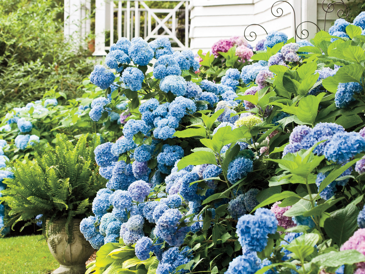 Learn when to prune different hydrangeas in your garden southern living - Caring hydrangea garden ...