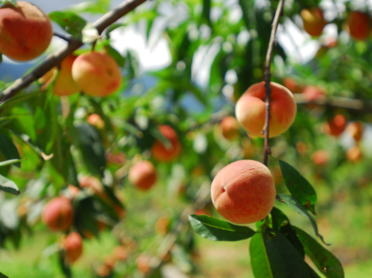 What s a paw paw tree southern living for The peach tree