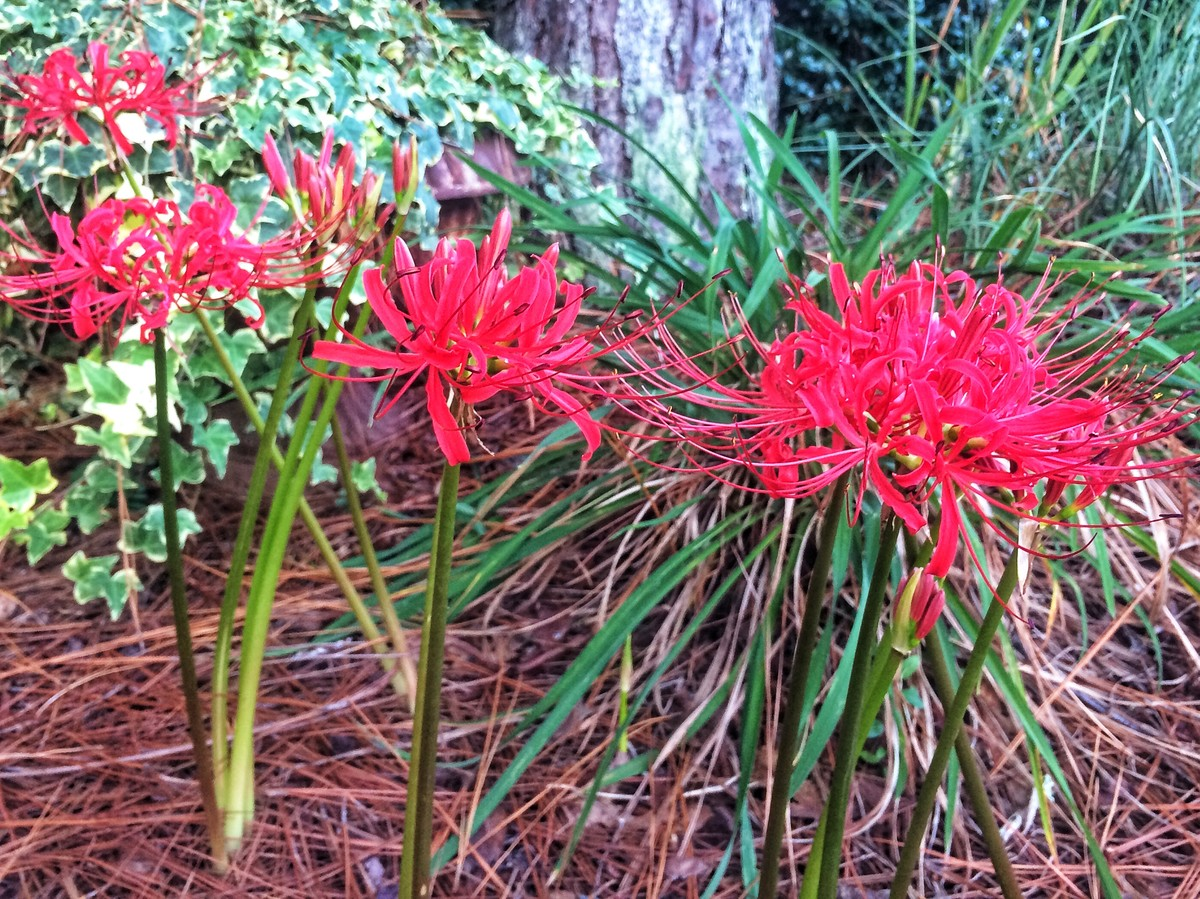 Spider lilies in early september sorcery southern living izmirmasajfo