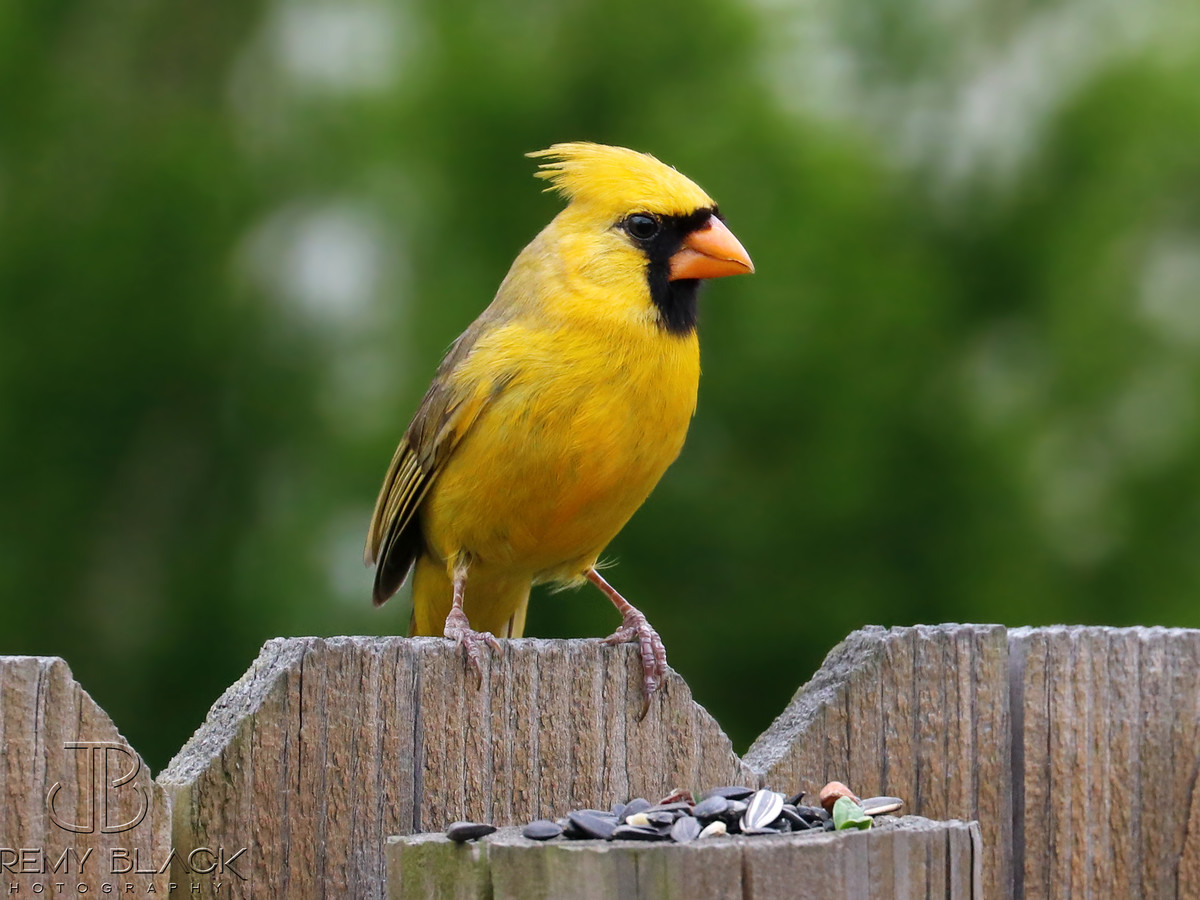 Another One-In-A-Million Yellow Cardinal Spotted, This Time in Georgia!