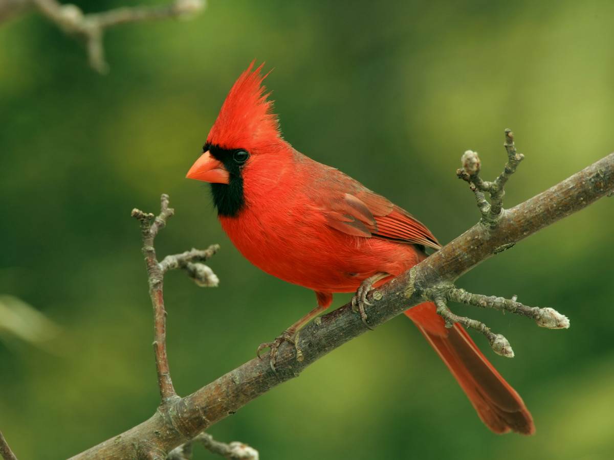 Northern-Cardinal-Bird