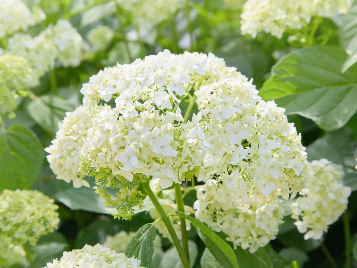 The Most Underrated Hydrangea and Why It's Great