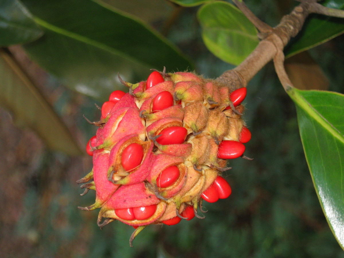 magnolia-seeds-copy_phixr.jpg