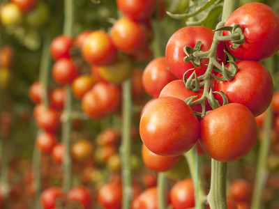 How To Pick The Best Tomatoes Image