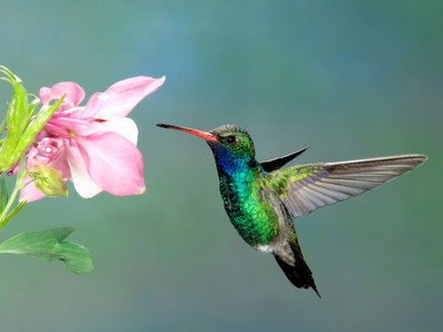 Getty Hummingbird And Flower