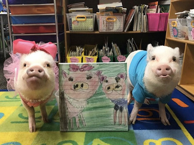These Adorable Mini Pigs Have Been Going to First Grade Every Day for Four Years