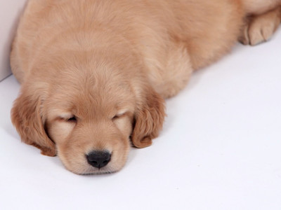 Sleepy Puppies React Golden Retriever